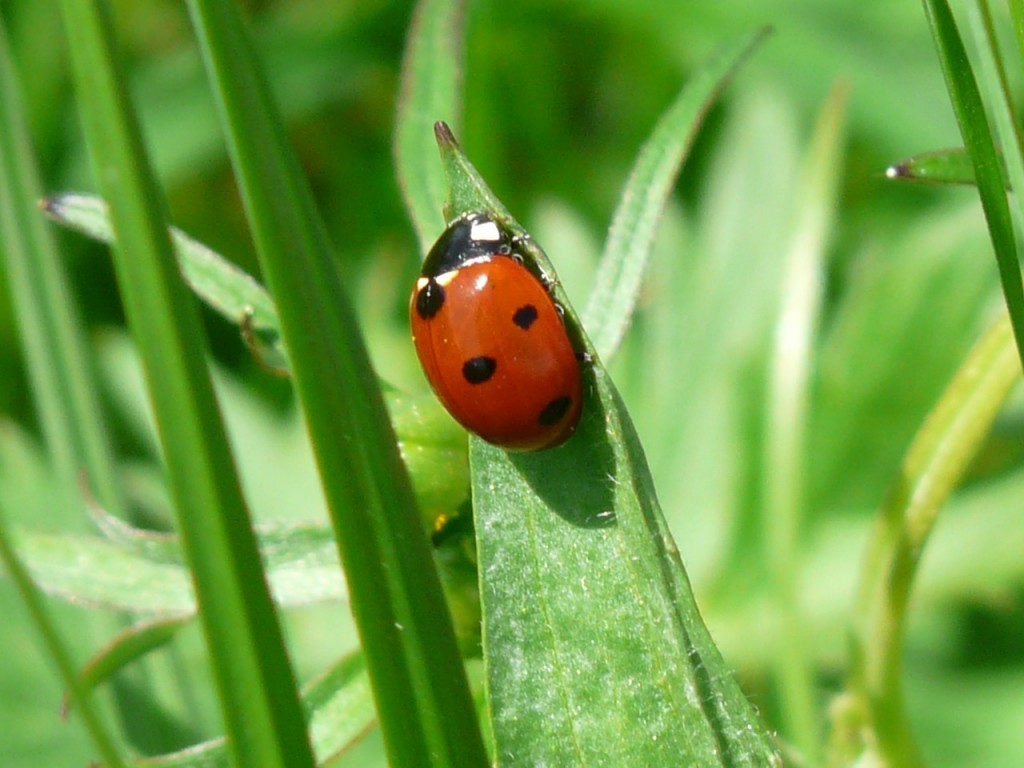 ladybug-54311_1280
