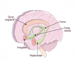 le cerveau de l'enfant