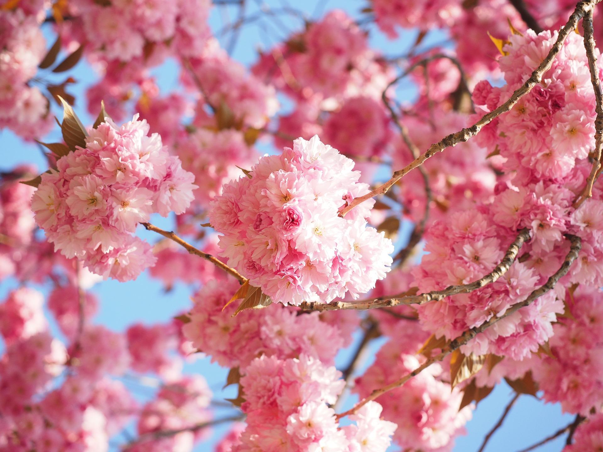 cherry-blossom-1260646_1920
