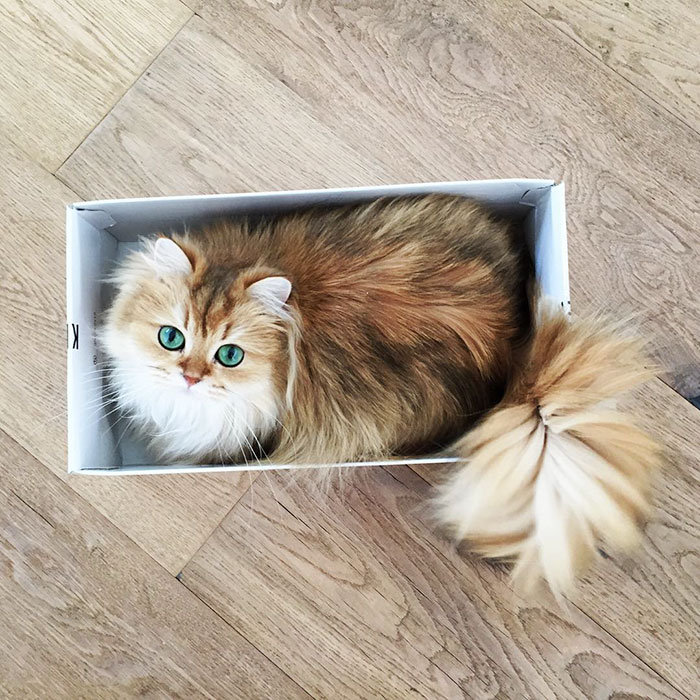 beautiful-fluffy-cat-british-longhair-21