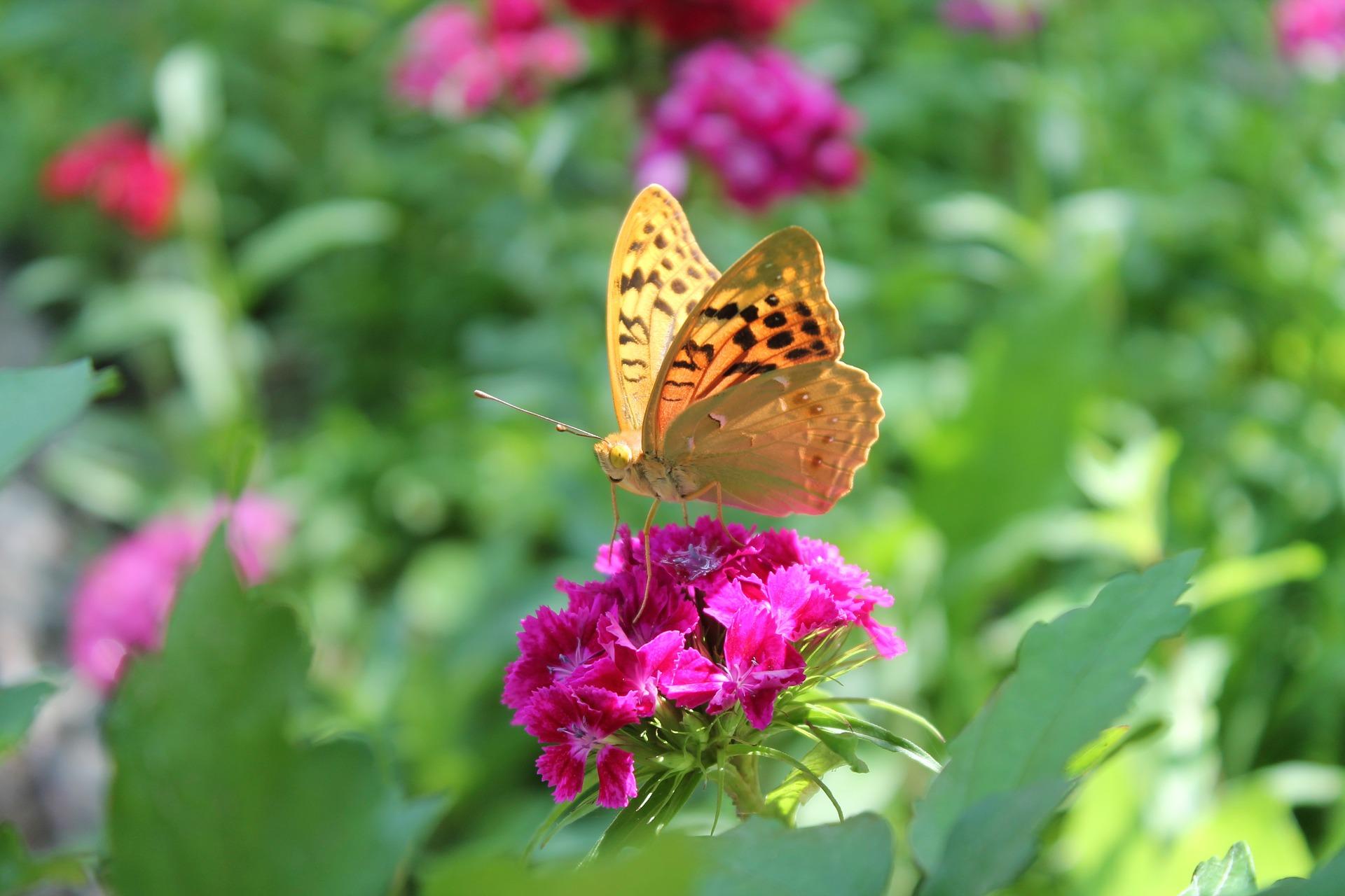 butterfly-1481375_1920