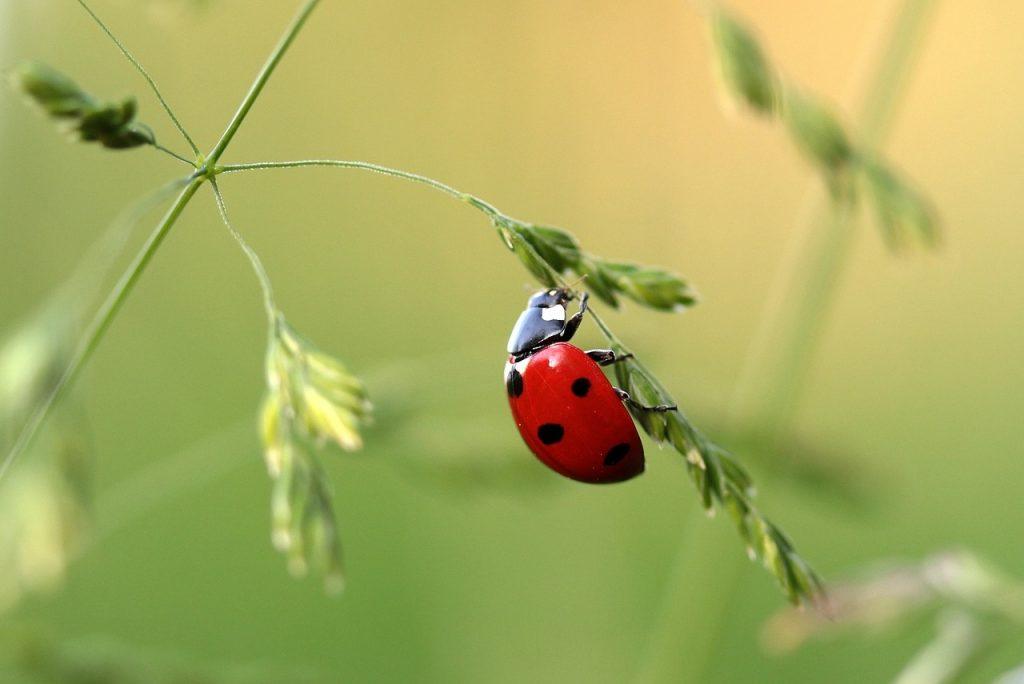 ladybug-1480102_1280