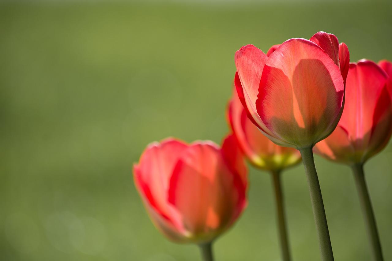 tulips-1477285_1280