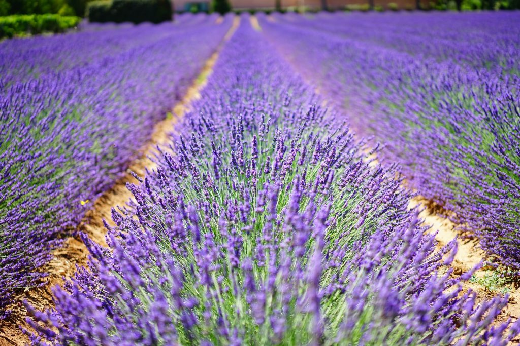lavender-flowers-1595487_1920
